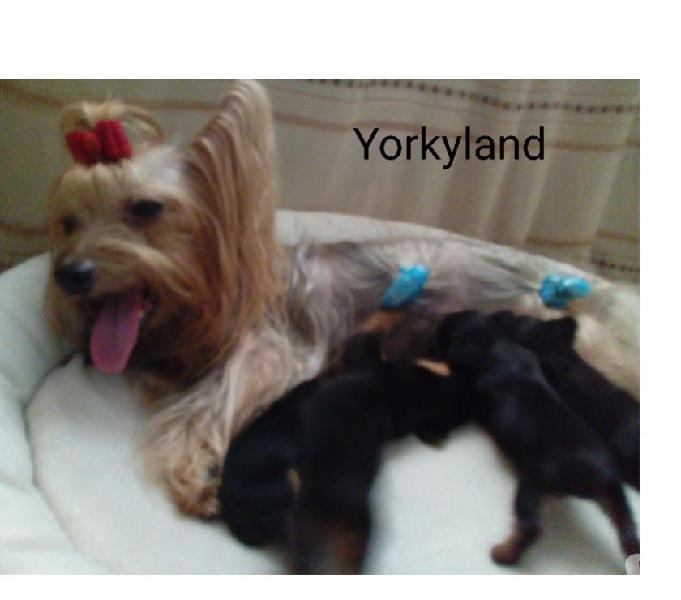 Cachorras yorkshire mini