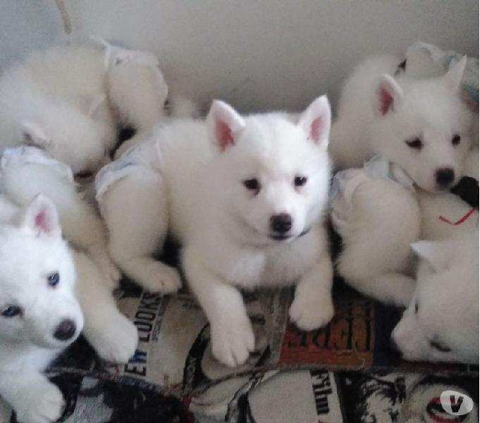 Cachorros lobos siberianos