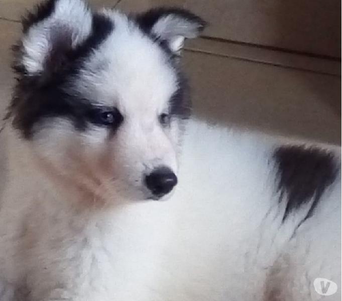 Lobo husky