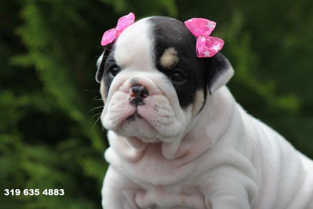 Bulldog ingles (hermosos cachorros 100% garantizados)