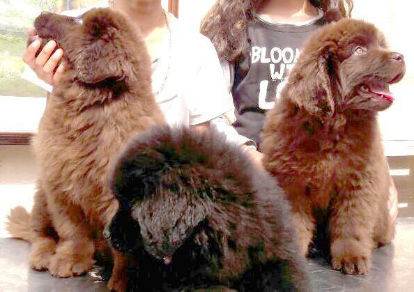 Espectaculares cachorros terranova con registro y pedrigree