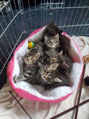 Gatitos mullidos hermosos del coon de maine contacto para