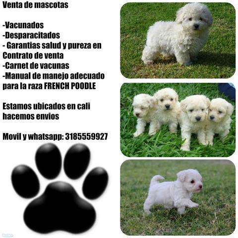 Venta de french poodle mini toy