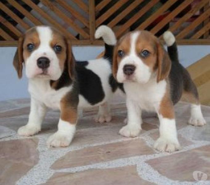 Vendemos lindos beagle enanos cachorros