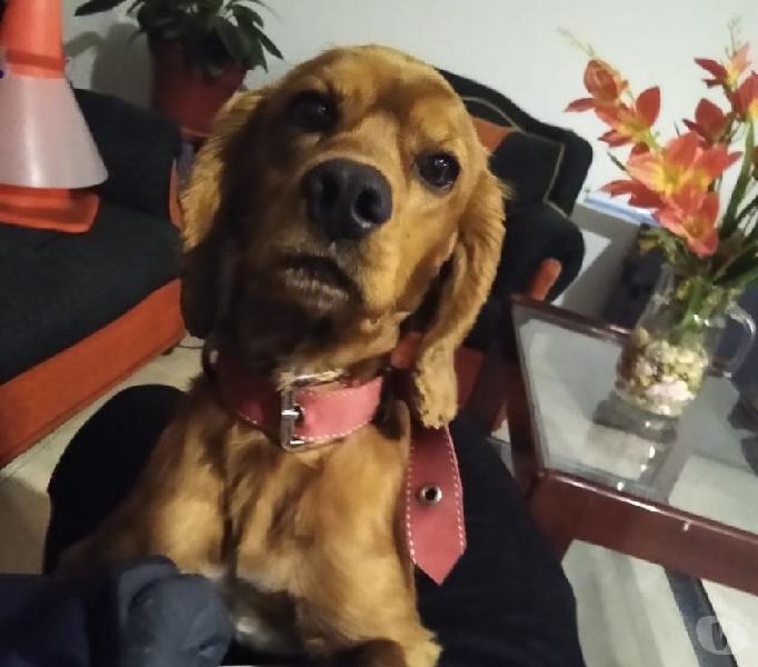 Doy en adopción perrito cocker spaniel
