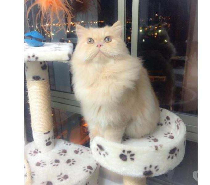 Los Más Lindos Llegan Gatos Persa