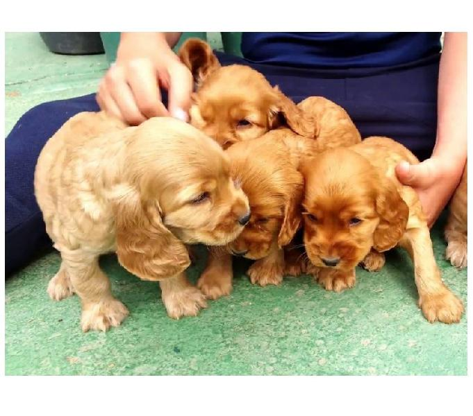 Excelentes y Disponibles Cocker Spaniel Hermosos