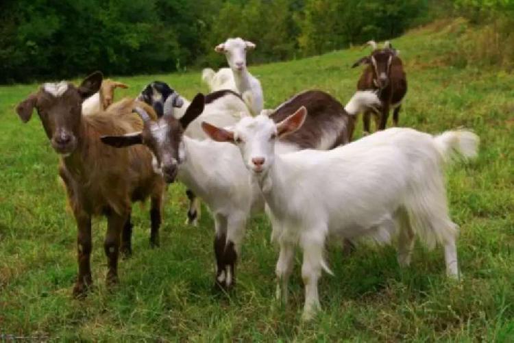 Se vende cabras destetas