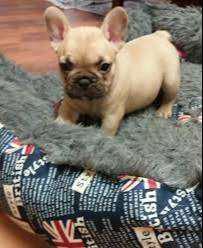 Raza hermosa en garantía bulldog francés cachorros