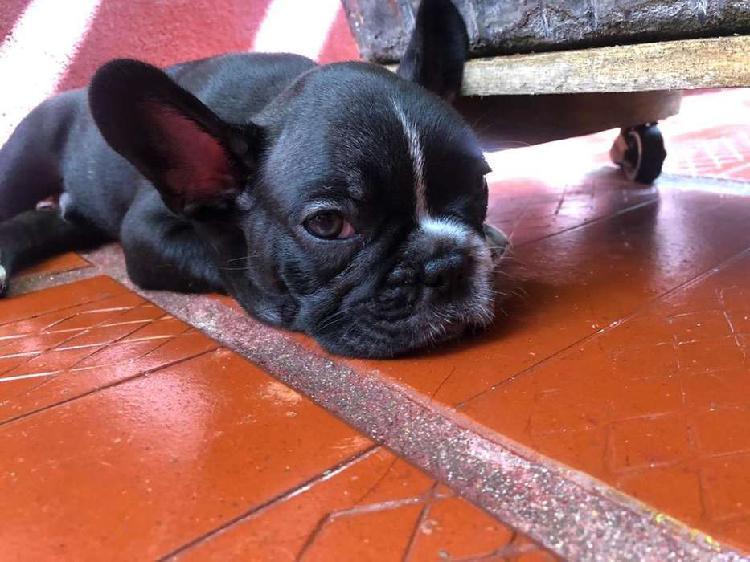 Cachorro de bulldog frances