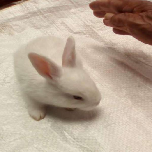 Conejo nueva zelanda peso 4 a 5 kilos