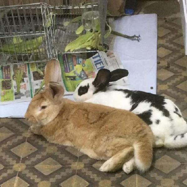 Conejos gigante nueva zelanda