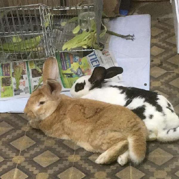 Conejos gigantes nueva zelanda