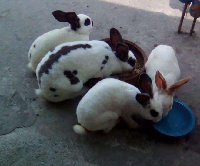 Conejos rex antialergico