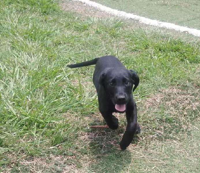Labrador dorado y negro exelentes drivs