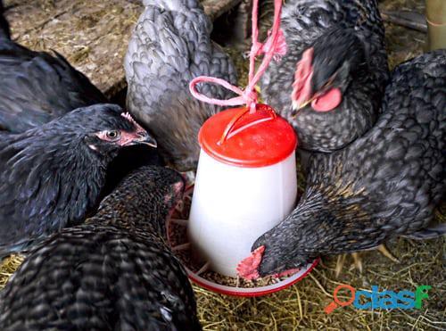 Gallinas ponedoras huevos verdes