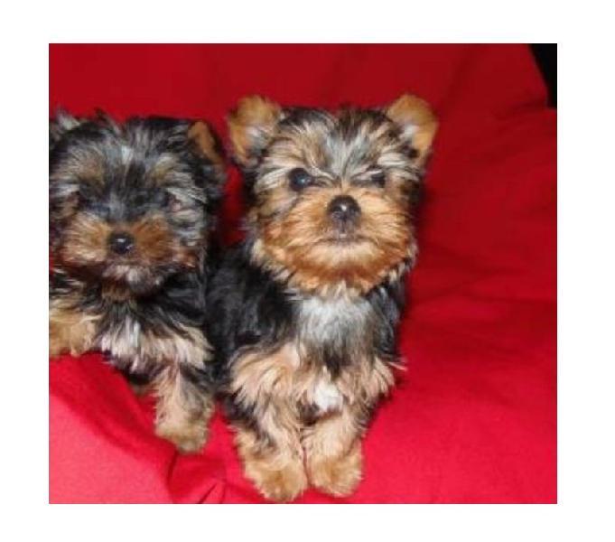 Tenemos Adorables Cachorros Yorkie Miniatura