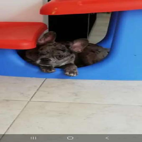 Bulldog frances merle 6 meses