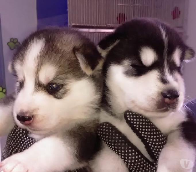 Lobos Siberianos Cachorros Anuncios Marzo Clasf