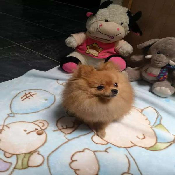 Pomerania lulu busca novia