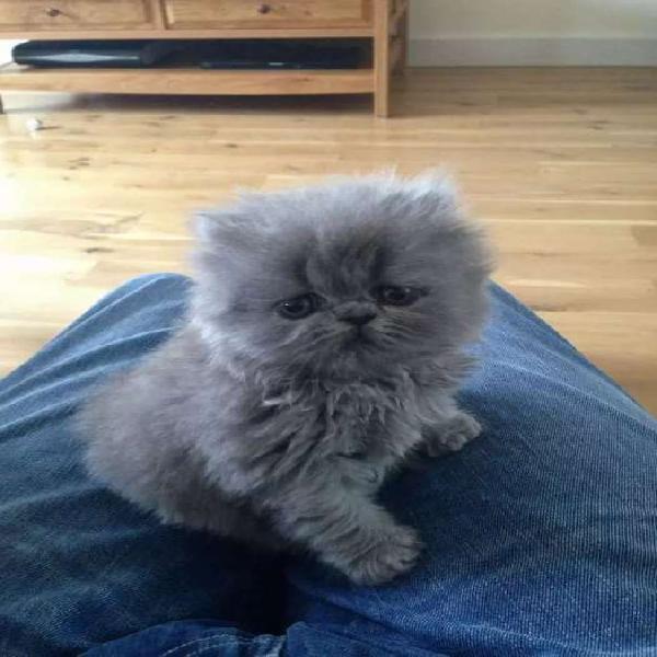Gaticos persa