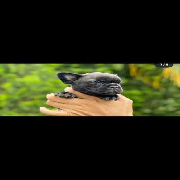 Bulldog francés hembra