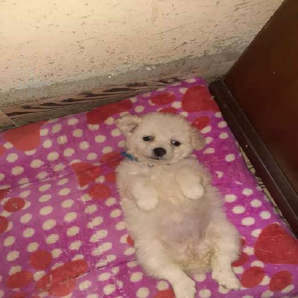 Se vende hermosa perrita french poodle