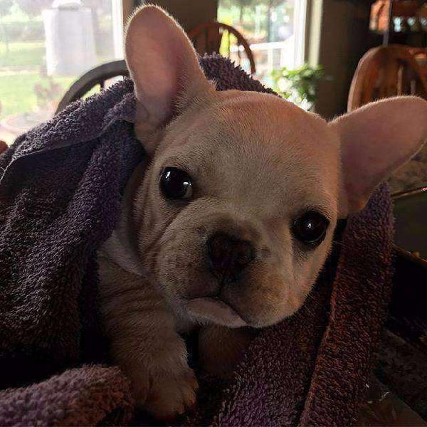 Bulldog frances fawn espectacular.es. 48 dias