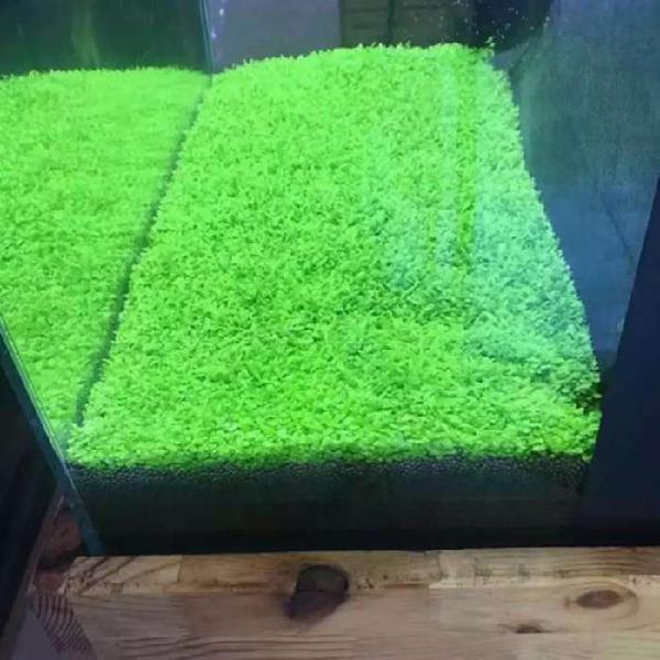 Semillas de plantas acuaticas tapizantes
