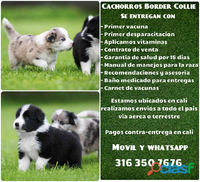 Camada de cachorros Border collie