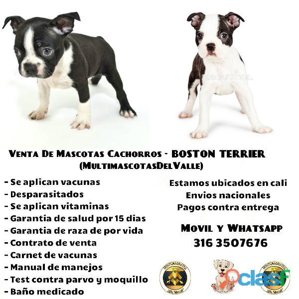 Boston terrier puros en venta