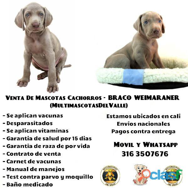 BRACO WEIMARANER CACHORROS