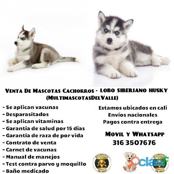 Cachorritos lobo siberiano en venta