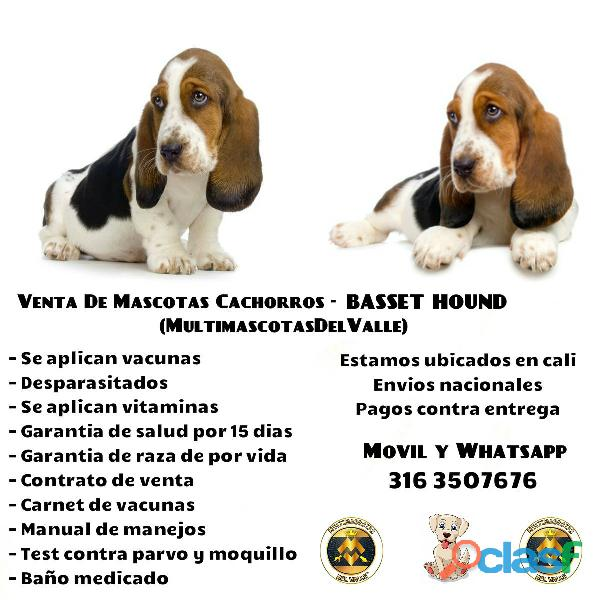 CACHORROS BASSET HOUND PUROS