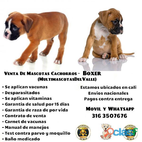 CAMADA DE BOXER CACHORROS PUROS