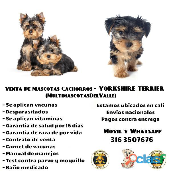 CAMADA DE CACHORROS YORKSHIRE TERRIER PUROS