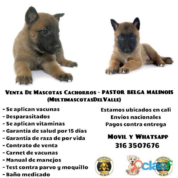 Pastor belga malinois en venta