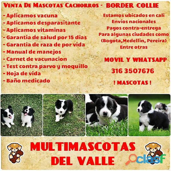 ADORABLES BORDER COLLIE FINOS EN VENTA