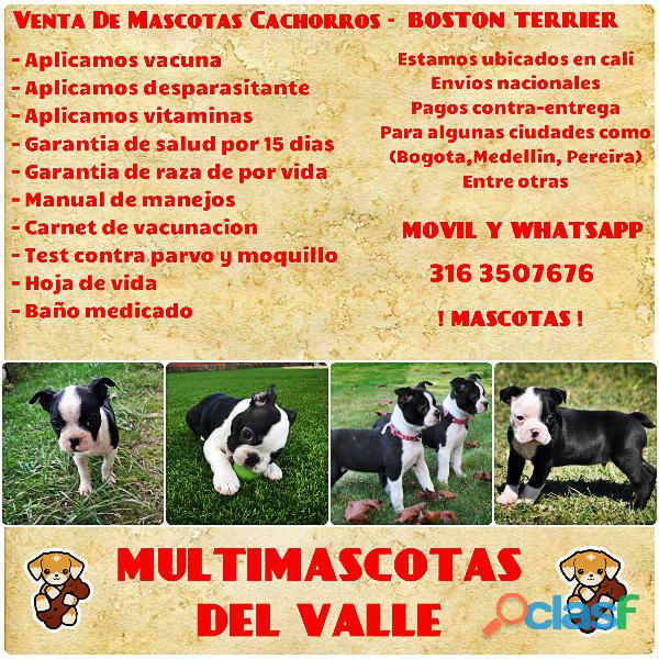 BOSTON TERRIER EN VENTA