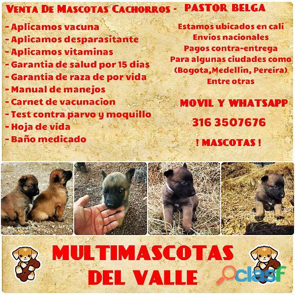 Camada de cachorros pastor belga