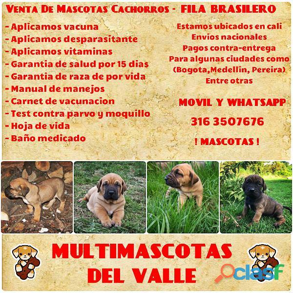 Preciosos cachorros fila brasileros disponibles