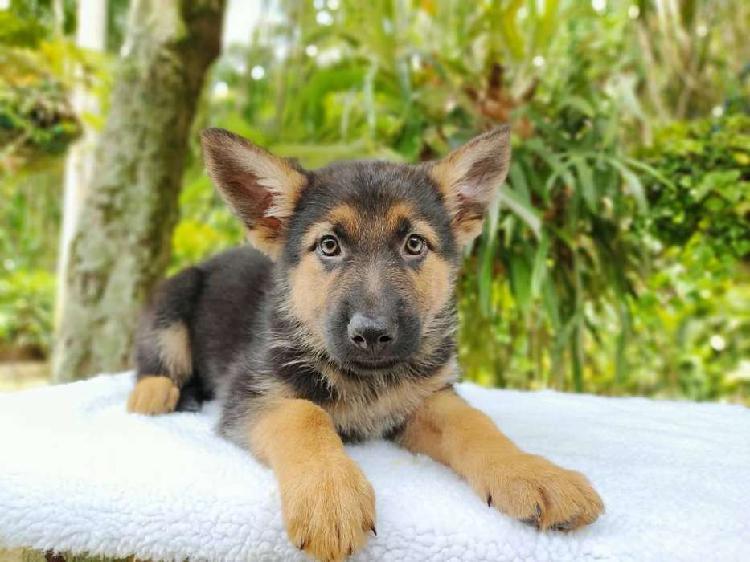 Pastor aleman amorosos y juguetones cachorros tu cachorro