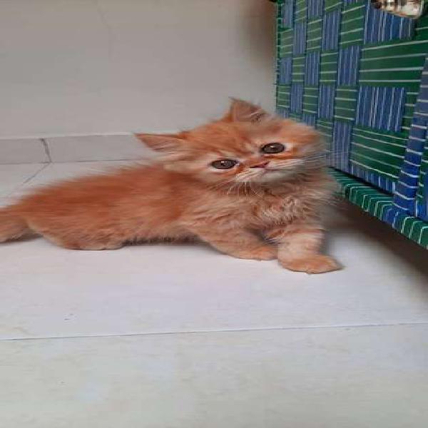 Gato persa himalayo macho