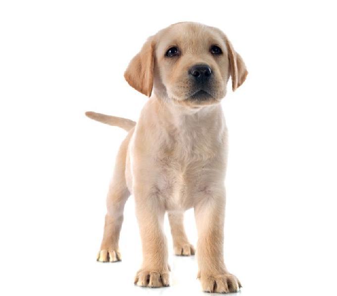 Labrador dorado negro y chocolate en venta