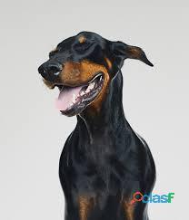 Busco Adoptar a un perro Doberman cachorro