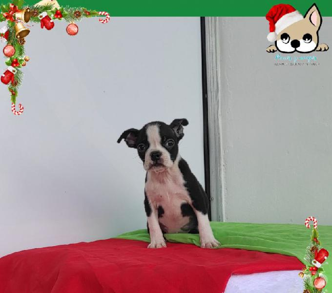 Boston terrier hembra última disponible