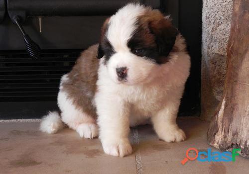 Divinos y grandes cachorros San Bernardo, disponibles