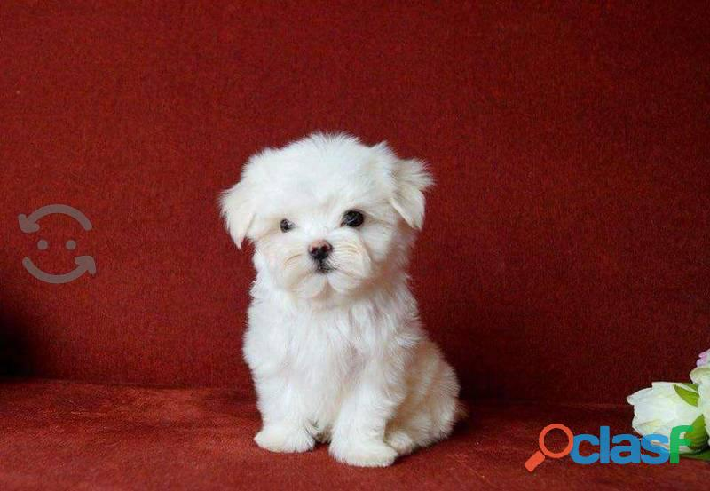 Juguetones cachorritos de raza maltes, disponibles
