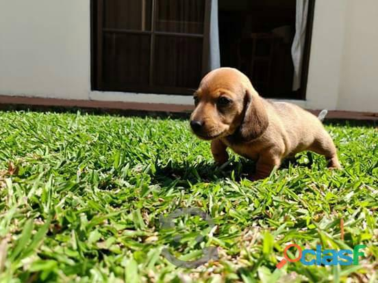 Juguetones y divinos Teckel (perro salchicha) disponibles