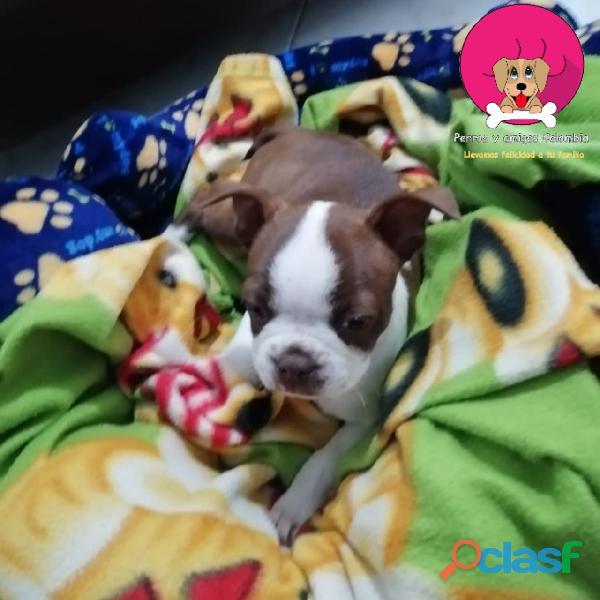 Perrito boston terrier rojo en venta 1